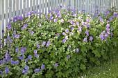 Geranium pratense 'Johnson's Blue' , magnificum 'Rosemoor' (Storchschnabel)