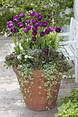 Terracotta-Kübel mit Tulipa 'Negrita' (Tulpen), Glechoma 'Variegata'