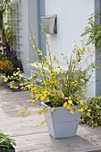 Kerria japonica 'Golden Guinea' (ungefuellter Ranunkelstrauch) in Holzkuebel