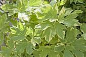 Peucedanum ostruthium 'Daphnis' (Gelbe Meisterwurz)