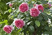 Rose 'Chippendale' (Nostalgierose)