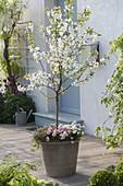 Sauerkirsche 'Saphir' (Prunus cerasus) in grauem glasiertem Topf
