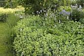 Staudenbeet mit Alchemilla mollis (Frauenmantel), Polygonum bistorta