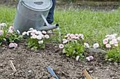 Beetrand mit Tausendschön als Beeteinfassung bepflanzen