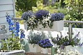 Blau - weisser Balkon mit Delphinium (Rittersporn), Lobelia Hot 'Bavaria'