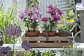 Lilium asiaticum 'Mount Duckling' (Lilien), Hieracium pilosella 'Niveum'