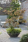 Acer palmatum 'Ariadne' (Japanischer Fächerahorn), Gillenia