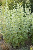 Artemisia absinthum 'Lambrook Mist' (Silbriger Garten - Wermut)
