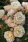Rosa 'Teasing Georgia' (Englische Strauchrose), öfterblühend, guter Duft