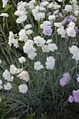 Dianthus gratianopolitanus 'Ohrid' - Pfingst-Nelke