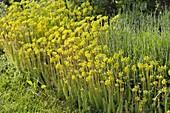 Blühende Sedum reflexum (Tripmadam, Felsen-Fetthenne) mit Lavendel