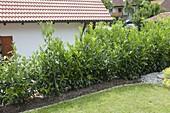 Ungeschnittene Hecke aus Prunus laurocerasus (Kirschlorbeer)