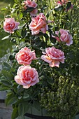 Rosa 'Sunset Boulevard' (Floribundarose), Zitronenthymian 'Golden King'