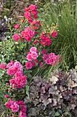 Rosa 'Heidetraum' (Bodendecker-Rose), Heuchera (Purpurglöckchen)