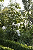 Paeonia officinalis 'Alba Plena' (Pfingstrose) und Cornus kousa