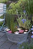 Zinkwanne mit Sumpfpflanzen als Mini-Teich