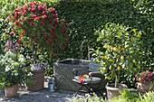 Mediterrane Kübelpflanzen am Brunnen : Citrus limon (Zitronen), Nerium