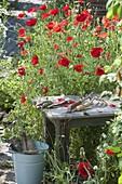Papaver rhoeas (Klatschmohn) im Bauerngarten, Hocker, Kleingeräte, Eimer