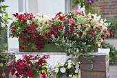 Rot - weiss bepflanzter Holzkasten : Pelargonium Caliente 'Deep Red'