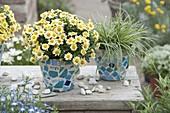 Argyranthemum frutescens Sassy 'Compact Yellow' (Gelbe Margerite)