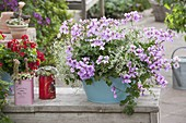 Tuerkisene Blechwanne mit Pelargonium peltatum 'Blue Blizzard'