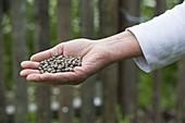 Bitterlupinen (Lupinus angustifolius) werden als Gründünger ausgesät