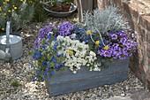 Blauer Holz-Kasten mit Anagallis monelli 'Angie Blue' (Gauchheil)