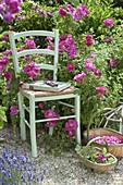 Stuhl vor Rosa gallica officinalis (Apothekerrose), historisch, einmalblühend