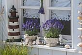 Fensterbank maritim mit Lavendel 'Hidcote Blue' (Lavandula angustifolia)
