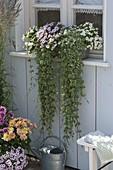 Balkonkasten vor dem Fenster : Glechoma hederacea 'Variegata'