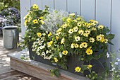 Gelb bepflanzter Lechuza-Kasten mit Currykraut (Helichrysum italicum)