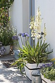 Blühende Yucca 'Variegata' (Yucca-Palme) in Holzkuebel vor der Tür