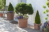 Pinus mugo 'Varella' (Zwergkiefer, Nasto - Symphonie) Stamm unterpflanzt