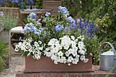 Terracotta - Kasten blau-weiss bepflanzt : Verbena Estrella 'White' (Eisenkrau