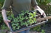 Frau bringt Zuckererbse 'Ambrosia' (Pisum sativum) vorgezogen