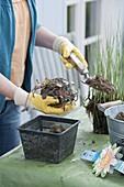 Holzfass als Mini -Teich bepflanzen
