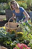 Frau erntet Kohlrabi (Brassica) im Hochbeet