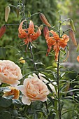 Lilium tigrinum syn. lancifolium var.splendens (Tigerlilie)