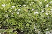 Kriechender Sellerie (Apium repens) ist in freier Natur streng geschuetz