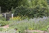 Bienenweide, Büschelschön , Bienenfreund (Phacelia tanacetifolia)