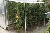 Tomaten (Lycopersicon) unterm Dach geschützt vor Regen, aber luftig