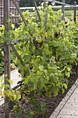 Weinreben (Vitis vinifera) mit dunklen Früchten an Holzspalier