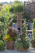 Zuckermais mit Sommerblumen in Terracotta - Kübel