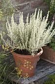 Helichrysum italicum 'Nanum' (Zwerg - Currykraut) in Terracotta - Topf