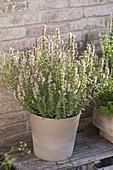 Ysop 'Roseus' (Hyssopus officinalis) mit rosa Blüten, Verwendung als Tee