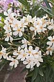 Nerium oleander 'Thalia' (Oleander)