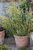 Russischer Estragon (Artemisia dranunculus), blühend im Terracotta-Kübel