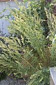 Blühende Triebe vom Russischen Estragon (Artemisia dranunculus)