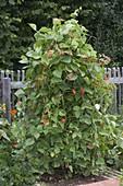 Blühende Feuerbohne (Phaseolus) an Rankgerüst im Biogarten