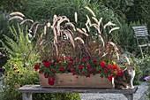 Holzkasten bepflanzt mit Pennisetum setaceum 'Rubrum'